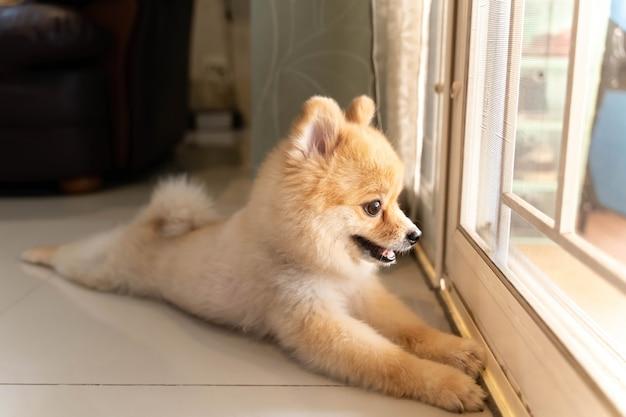 Cachorro da pomerânia está esperando que alguém abra a porta. cachorrinho fofo sentado na porta da frente olhando para fora
