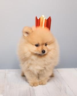 Cachorro da pomerânia muito fofo e fofo com uma coroa de ouro na cabeça