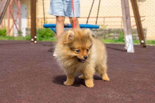 Cachorro da pomerânia passeando no parquinho com seu pequeno dono