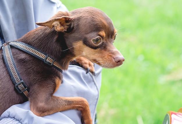 Cachorro da raça toy terrier russo nas mãos do dono enquanto caminhava