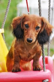 Cachorro dachshund de cabelos compridos, sentado em um balanço
