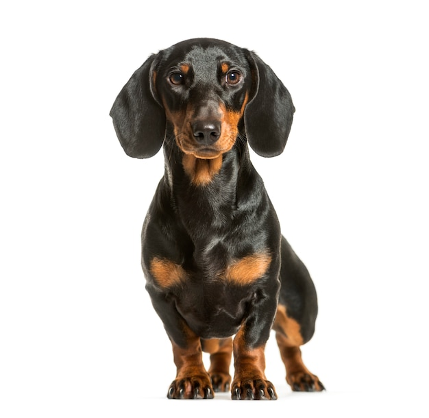 Cachorro dachshund sentado