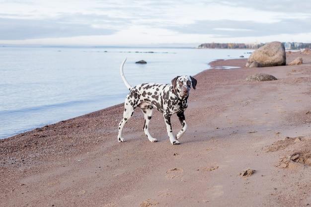 Cachorro dálmata marrom na praia. cão feliz dálmata brincando na praia. o dálmata é uma raça de cachorro de grande porte que anda na praia, respingos de água. tempo nublado