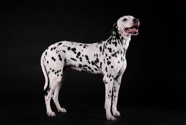 Cachorro dálmata parado em uma sala escura