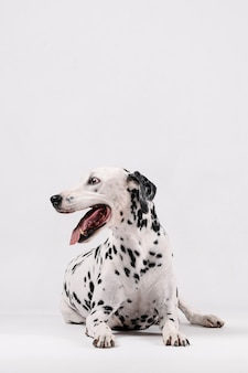 Cachorro dálmata sentado e olhando para o lado isolado