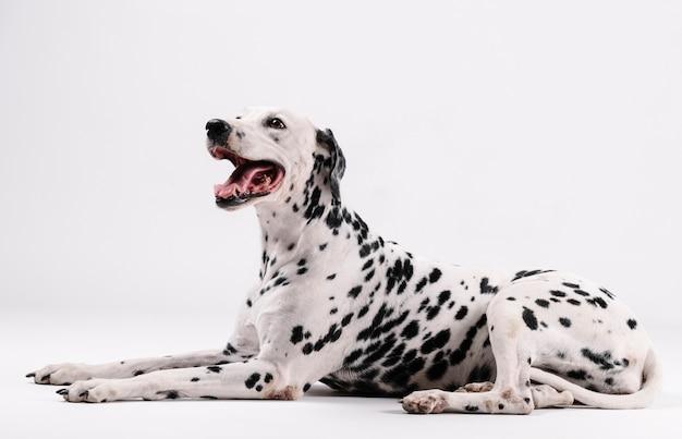 Cachorro dálmata sentado e voltado para cima isolado