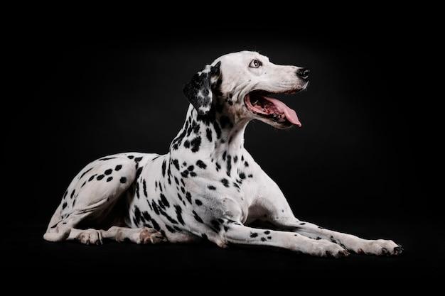 Cachorro dálmata sentado isolado