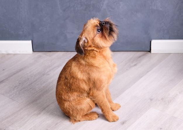 Cachorro de bruxelas griffon senta no chão e olha para cima.