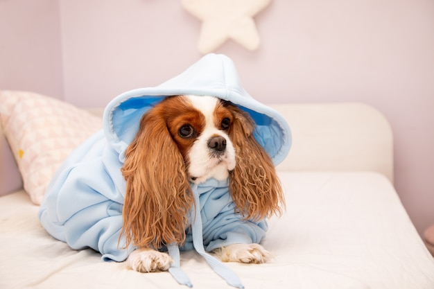 Cachorro de estimação cavalier king charles spaniel com capuz azul