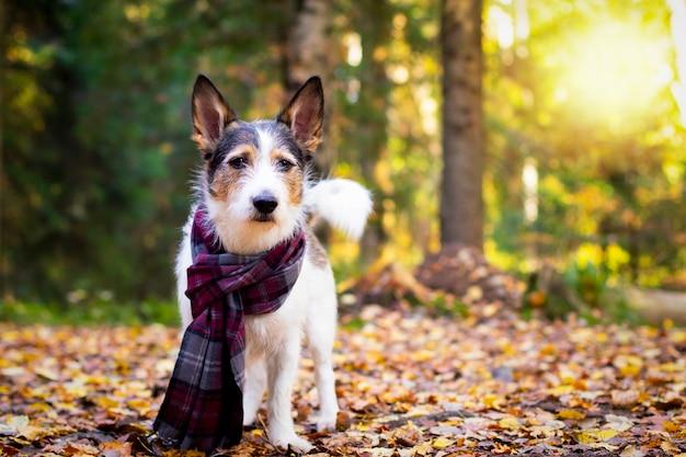 Cachorro de outono, um cachorrinho fofo com um lenço senta-se em folhas coloridas na floresta. olha os raios do sol. outono dourado romântico e satisfeito do animal de estimação, humor. copiar espaço