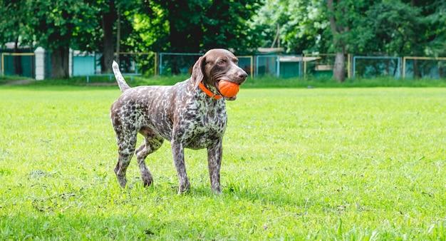Cachorro de ponta alemão de pêlo curto parado na grama com uma bola nos dentes