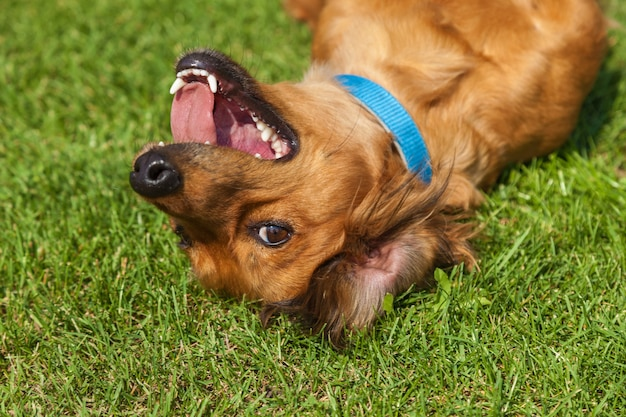 Cachorro deitado de costas na grama verde, cachorro spaniel misturado spaniel
