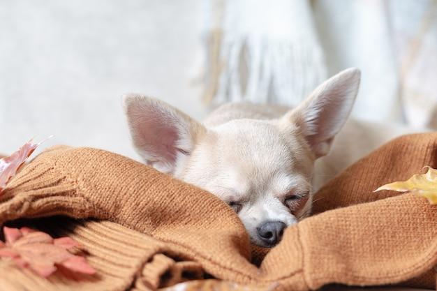Cachorro deitado e dormindo em uma manta com folhas caídas de bordo, cachorro chihuahua se aquece debaixo de um cobertor em