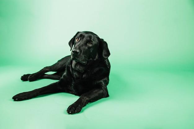 Cachorro descansando em fundo verde
