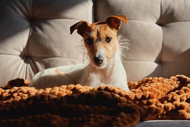 Cachorro descansando no sofá sob o cobertor
