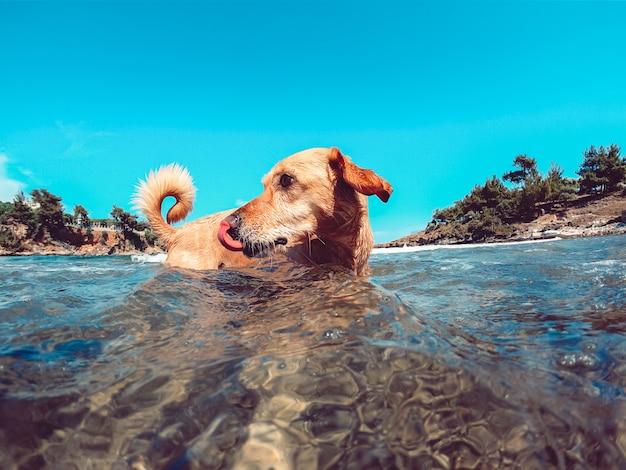 Cachorro desfrutando na praia enquanto nadava no mar e lambia o nariz