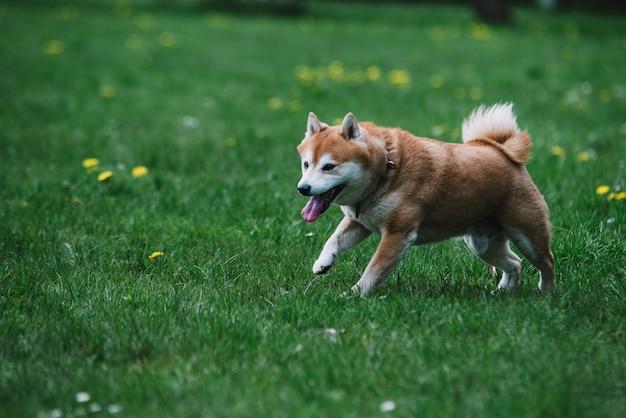 Cachorro do japão shiba inu correndo na grama
