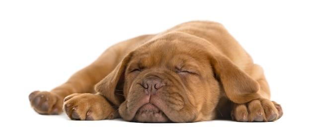 Cachorro dogue de bordeaux deitado e dormindo em frente a uma parede branca