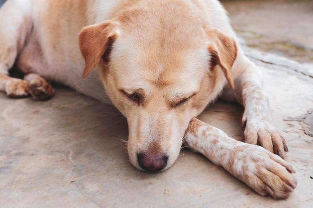 Cachorro dormindo relaxa no chão. animais de estimação tailandeses.