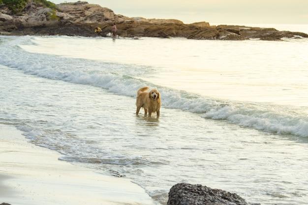 Cachorro dourado andando na praia ao pôr do sol.