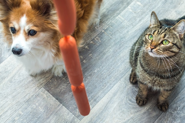 Cachorro e gato faminto olhando para uma salsicha