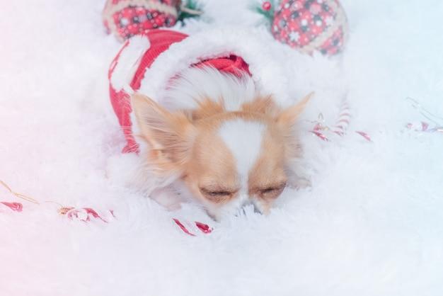 Cachorro e natal. chihuahua dorme em um cobertor branco em uma roupa de papai noel. bom espírito de ano novo.