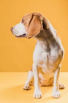 Cachorro em pé em uma sala amarela e olhando para longe
