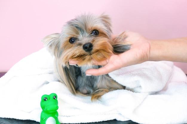 Cachorro em um salão de beleza; cão após o banho, enrolado em uma toalha. animal de estimação recebe tratamentos de beleza em um salão de beleza para cães.