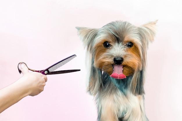 Cachorro em um salão de beleza; corte de cabelo, tesoura. animal de estimação recebe tratamentos de beleza em um salão de beleza para cães.