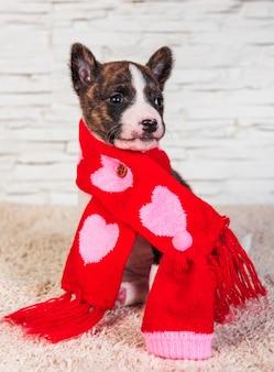 Cachorro engraçado basenji no lenço com corações em fundo branco. inverno