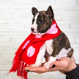 Cachorro engraçado basenji no lenço com corações na mão do proprietário sobre fundo branco. inverno