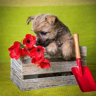 Cachorro engraçado cairn terrier de trigo ou vermelho está sentado em uma caixa com flores de papoula vermelhas e uma pá na parede verde
