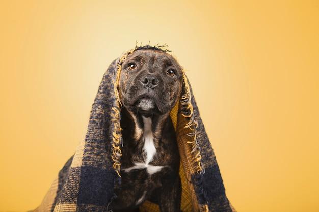Cachorro engraçado coberto com um cobertor de lã isolado em fundo amarelo