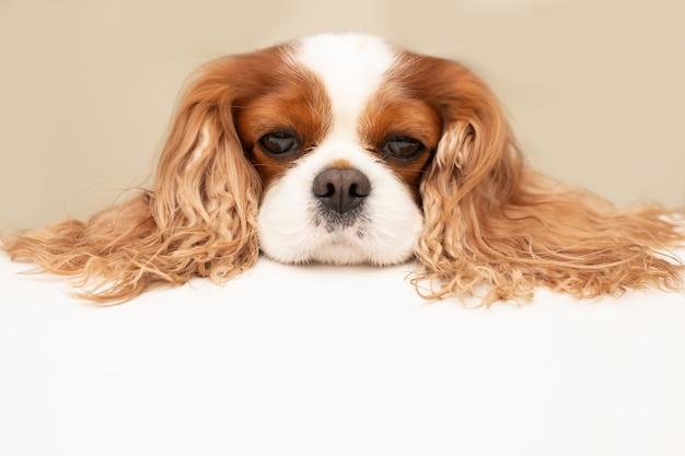 Cachorro engraçado colocou suas orelhas grandes e fofas na mesa. copie o espaço para o texto.