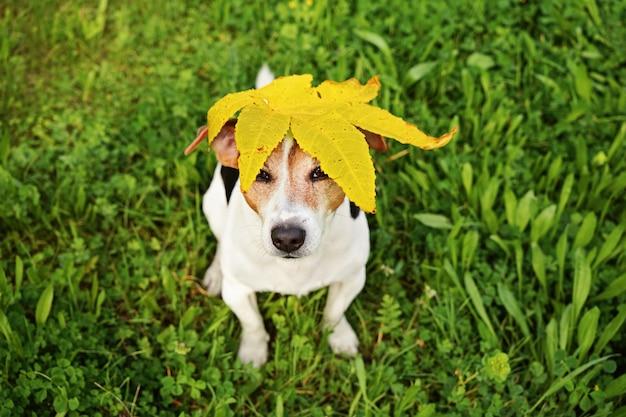 Cachorro engraçado com a grande folha de maple amarelo na cabeça