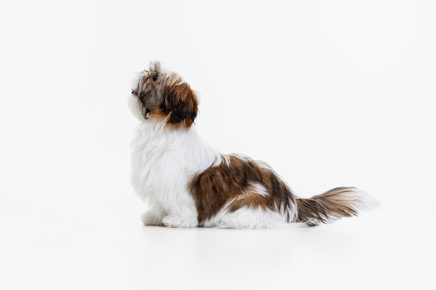 Cachorro engraçado isolado no branco