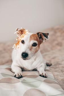 Cachorro engraçado jack russell com uma guirlanda de natal cintilante na cabeça
