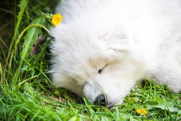 Cachorro engraçado samoiedo dormindo no jardim