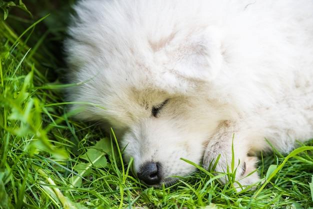 Cachorro engraçado samoyed dormindo no jardim na grama verde