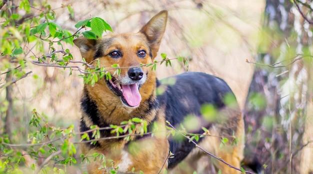 Cachorro enquanto caminhava na floresta. o cachorro olha através de matagais na floresta