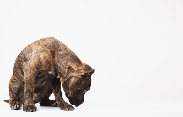 Cachorro farejando o chão ou procurando um prêmio com espaço para texto em fundo branco