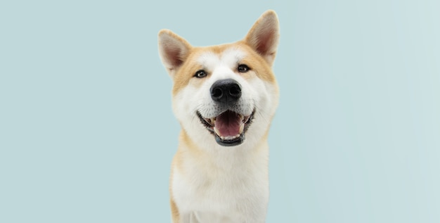 Cachorro feliz akita isolado em azul
