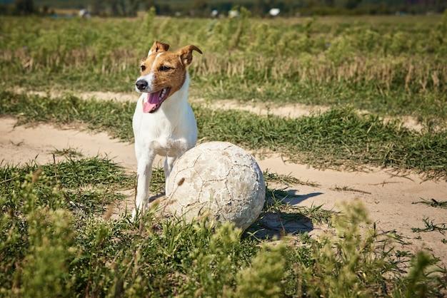 Cachorro feliz brincar com bola no campo em dia de verão. cachorro terrier jack russel brincando ao ar livre