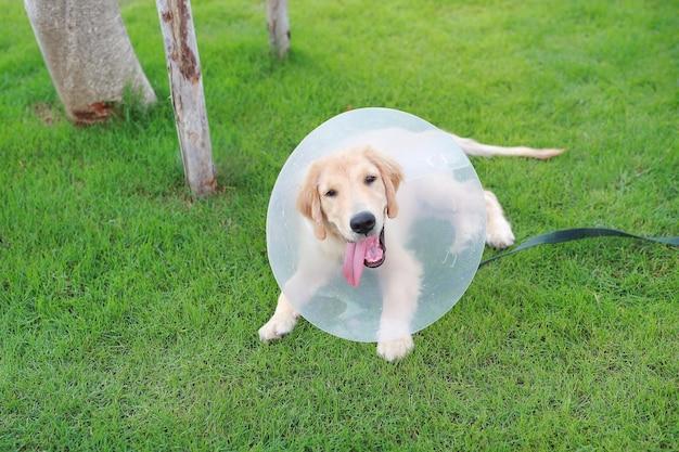 Cachorro feliz com uma coleira protetora de plástico deitado na grama no jardim