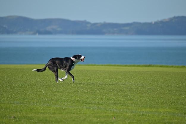Cachorro feliz correndo em um campo com um mar azul e uma ilha