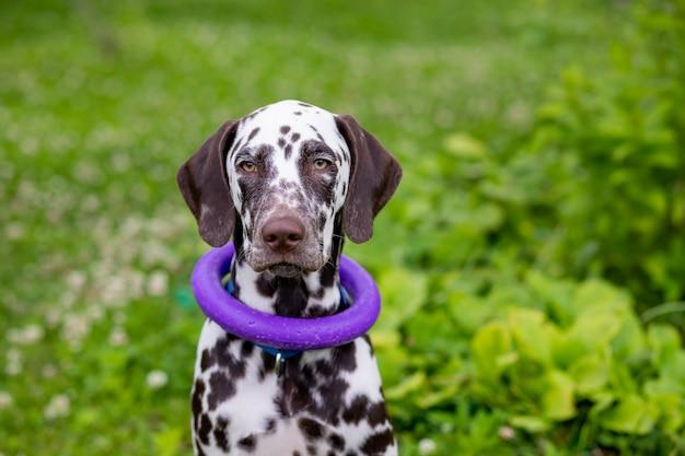 Cachorro feliz sentado ao ar livre com um brinquedo de anel em volta do pescoço.