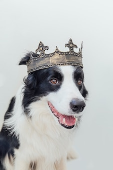 Cachorro filhote de cachorro com cara engraçada de border collie usando coroa de rei isolada no branco