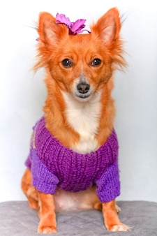 Cachorro fofinho em suéter com acessório de cabelo na cabeça