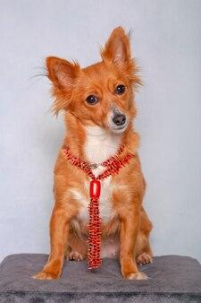 Cachorro fofinho preocupado com colar no banquinho