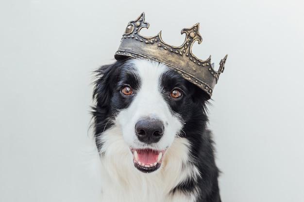 Cachorro fofo com cara engraçada de border collie usando coroa de rei isolada no fundo branco
